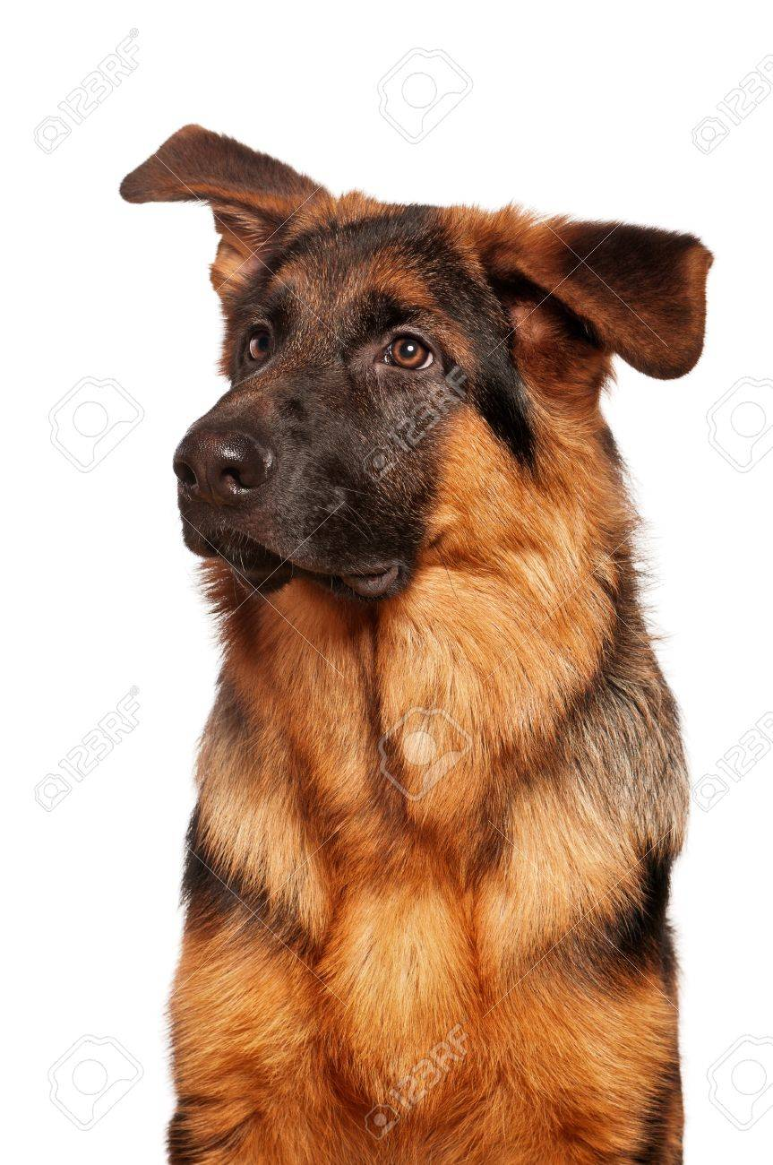German Shepherd puppy, 5 months old on white background Stock Photo - 12075450