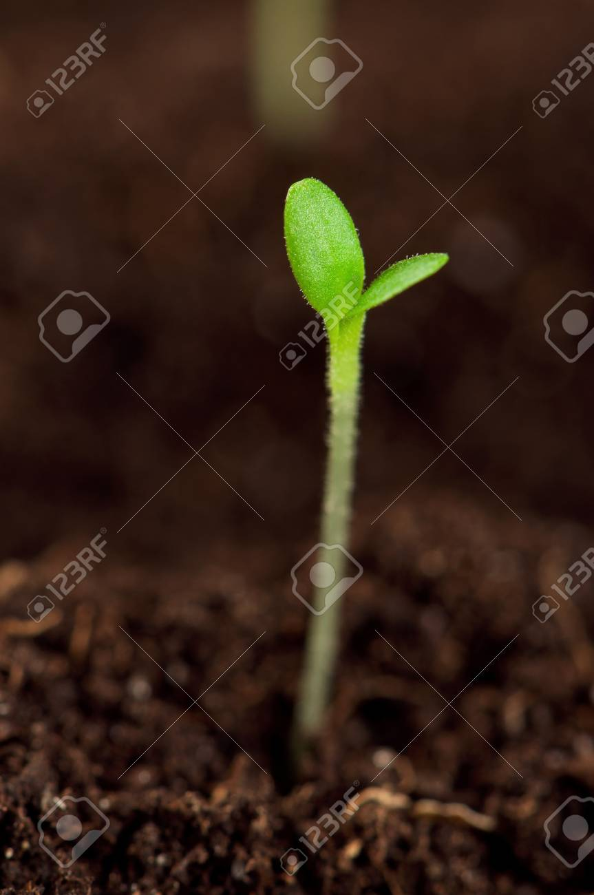 Close-up of green seedling growing out of soil Stock Photo - 12696823