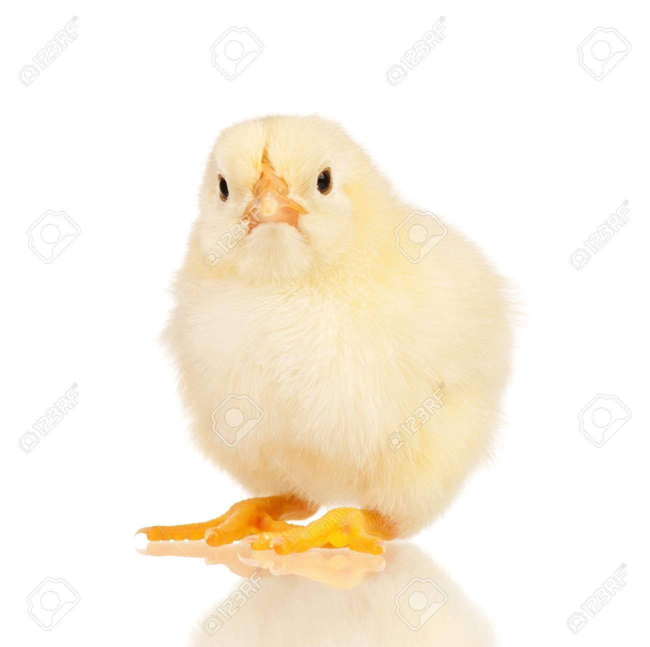 cute little chicken isolated on white background stock photo