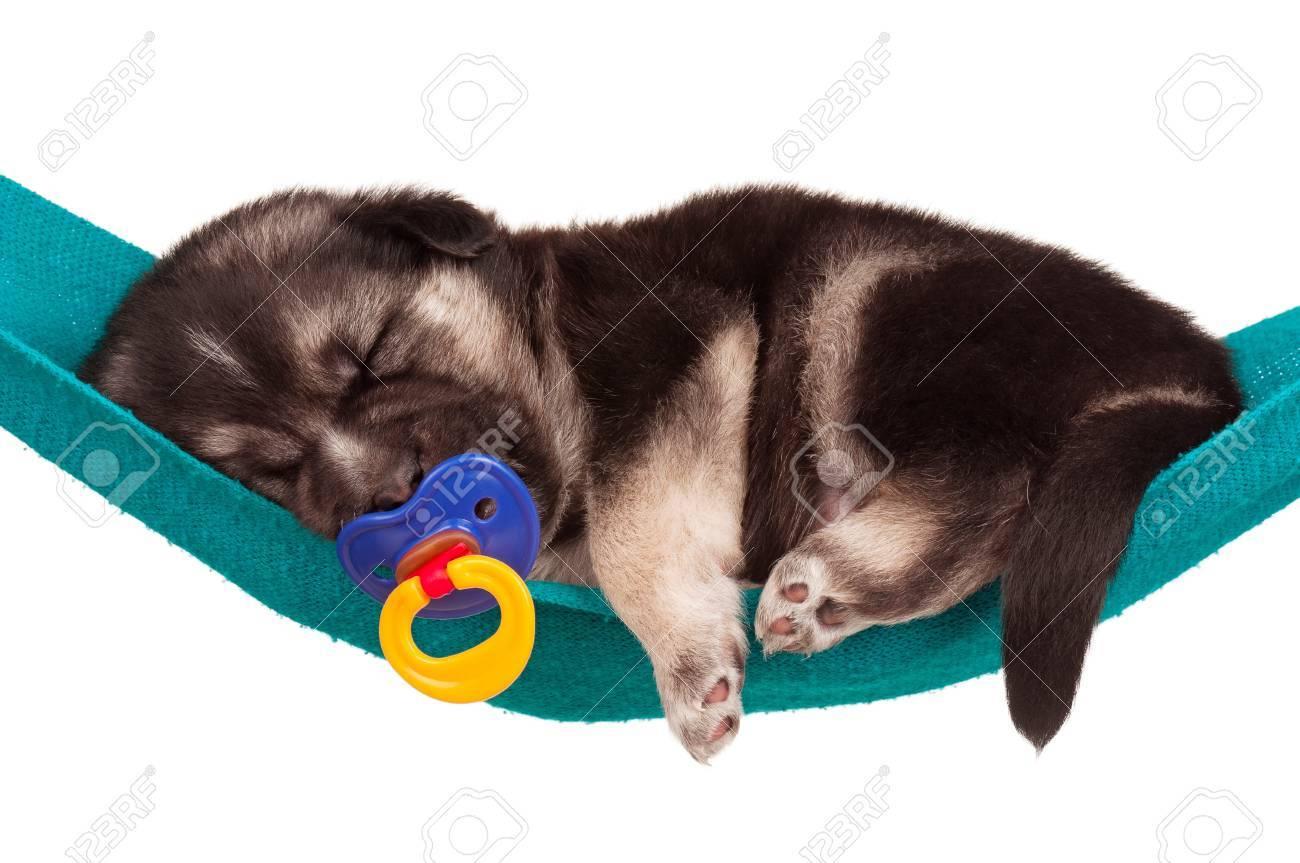Cute sleeping puppy of 3 weeks old in a hammock on a white background Stock Photo - 15823321