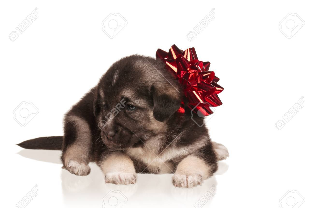 Cute puppy of 3 weeks old with red bow on a white background Stock Photo - 15823277