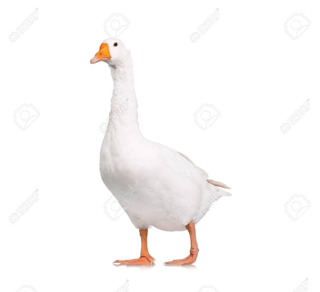 White domestic goose isolated on white background Stock Photo - 15814297