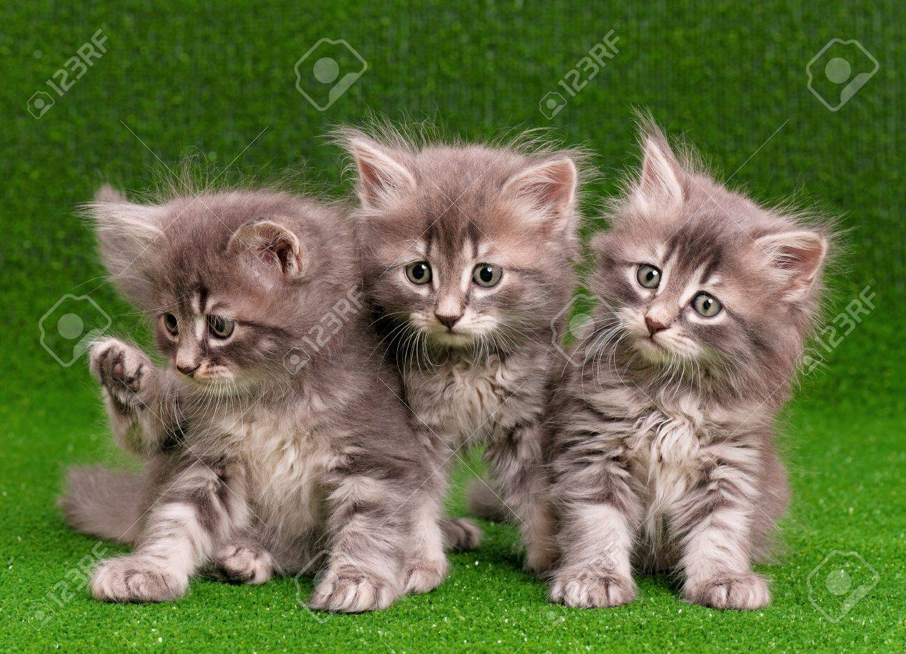 Cute Gray Kittens Artificial Green Grass Stock Picture