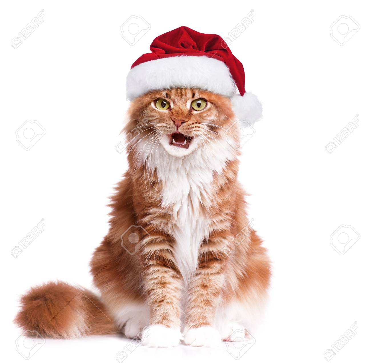 portrait of maine coon kitten in red christmas santa hat. cute