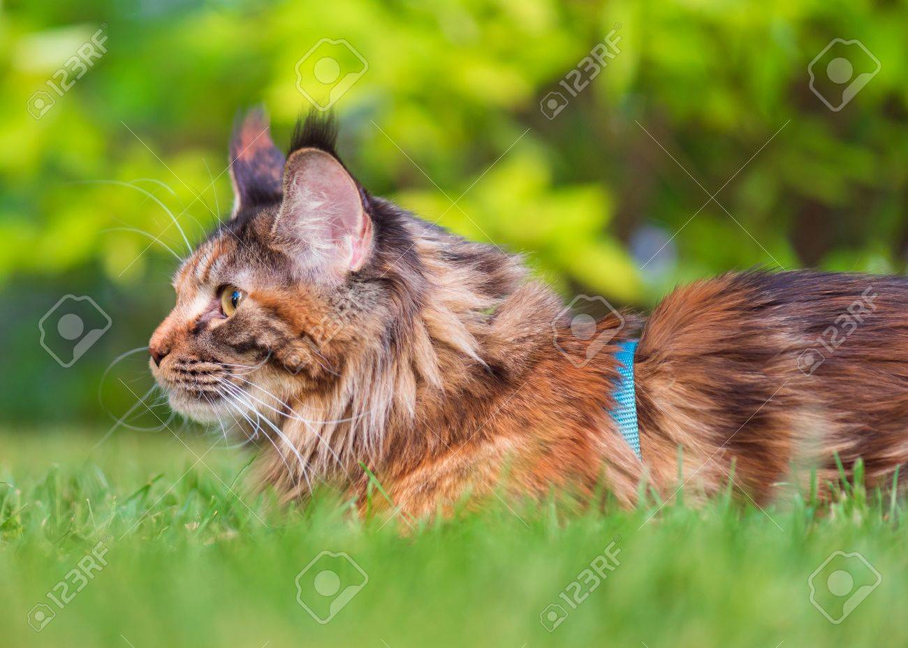 Tortoiseshell Maine Coon Cat With Leash In Backyard. Young Cute Female Cat  Wearing A Harness