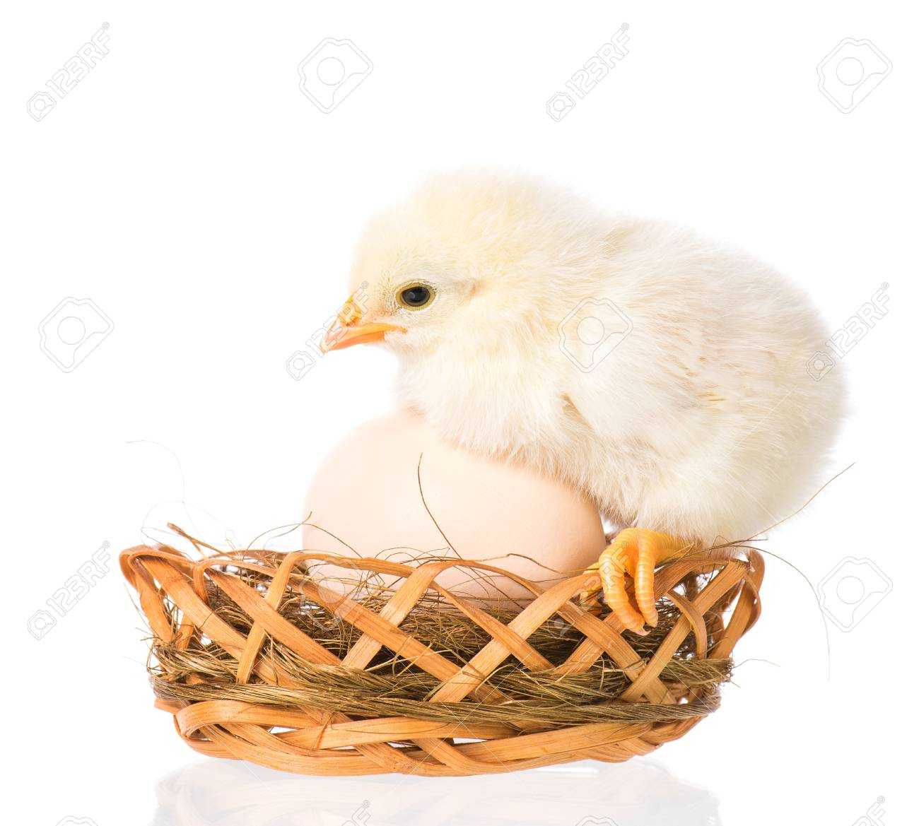 cute little newborn chicken standing in nest with egg isolated
