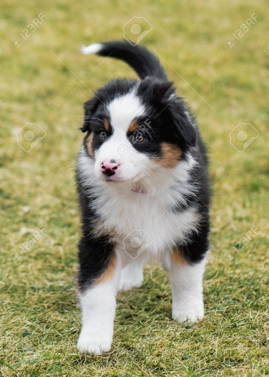 Australian Shepherd Purebred Dog On Meadow In Autumn Or Spring Stock Photo Picture And Royalty Free Image Image 97434314