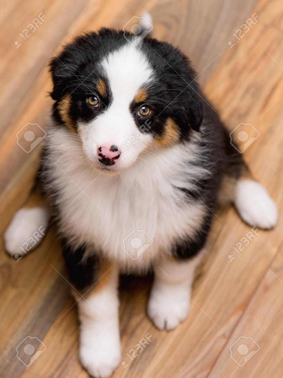 Australian Shepherd Purebred Puppy 2 Months Old Looking At Camera Stock Photo Picture And Royalty Free Image Image 99620586