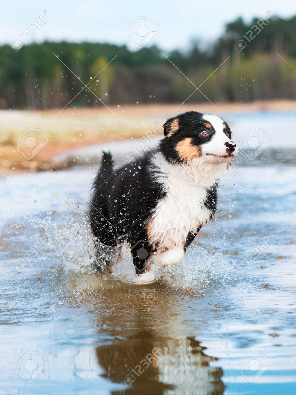 Happy Dog Runs Along The Beach In A Spray Of Water Beautiful Stock Photo Picture And Royalty Free Image Image 100329159