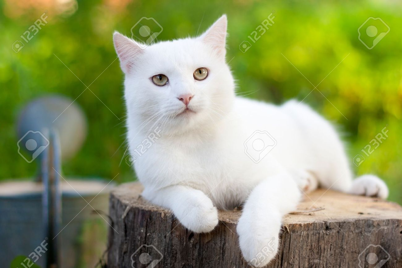 White Cat In The Garden Stock Picture And Royalty Free