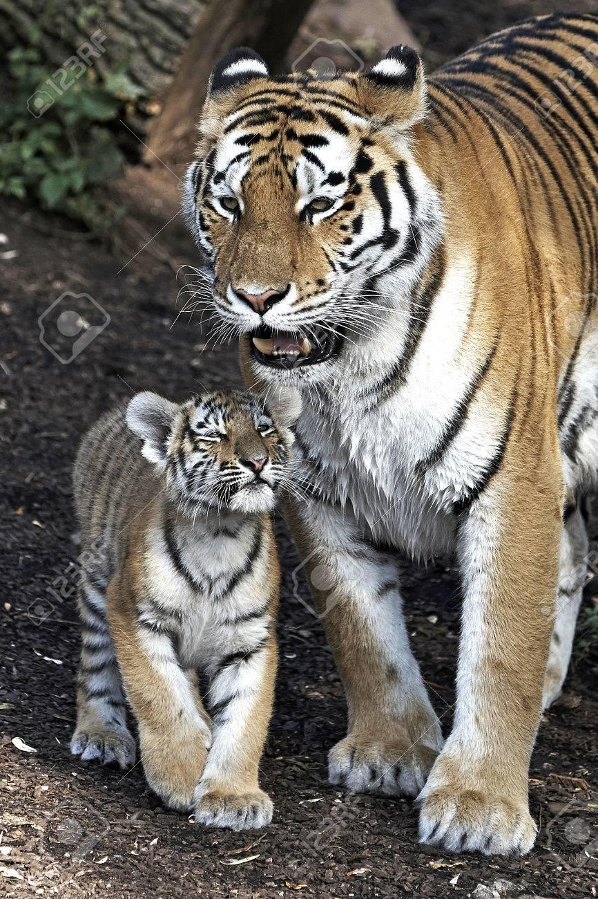 アムール トラ 赤ちゃん