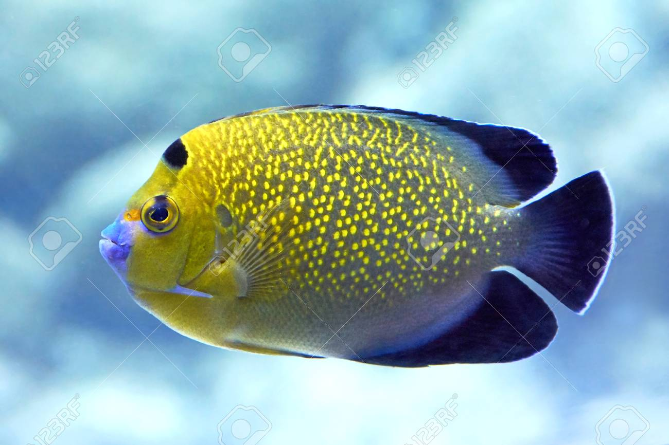 Closeup image of the Goldflake Angelfish seen from the side - 48246710