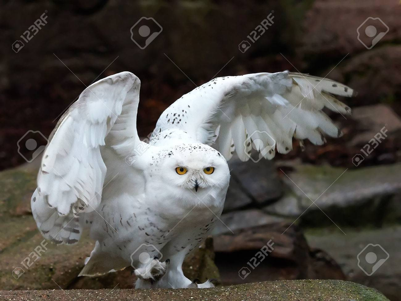 Snowy Owl Sitting On A Rock With Open Wings Stock Photo Picture And