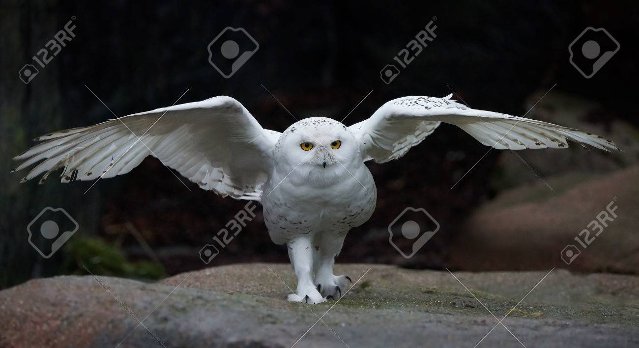 Snowy Owl With Open Wings In Its Habitat Stock Photo Picture And