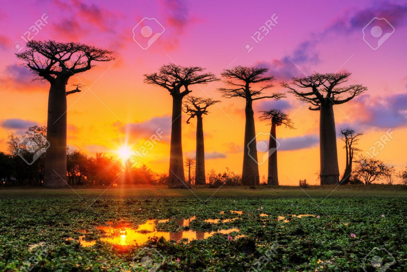 Beautiful Baobab trees at sunset at the avenue of the baobabs in Madagascar - 40645919