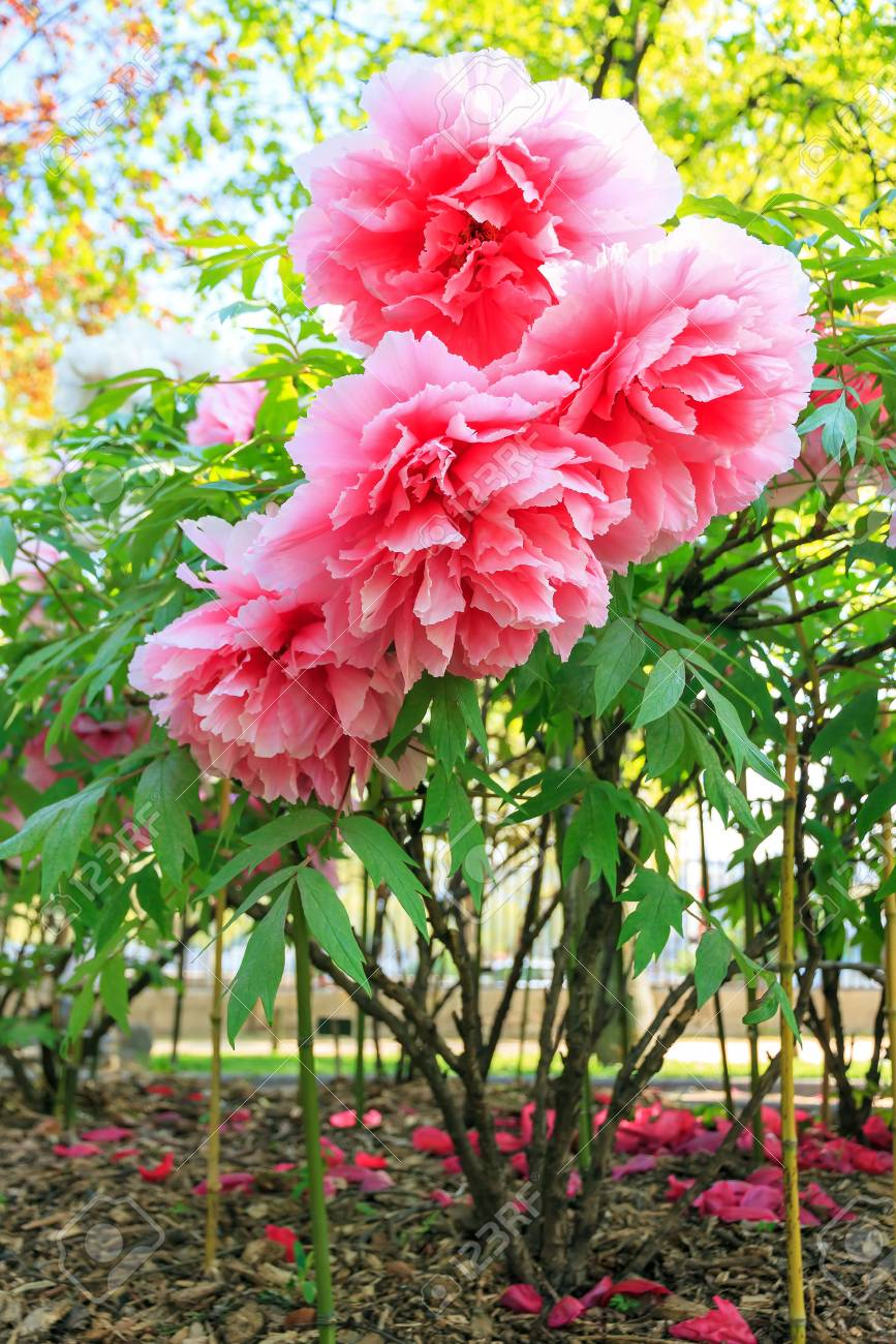 Beautiful Pink Flowers Of The Moutan Or Chinese Tree Peony Paeonia