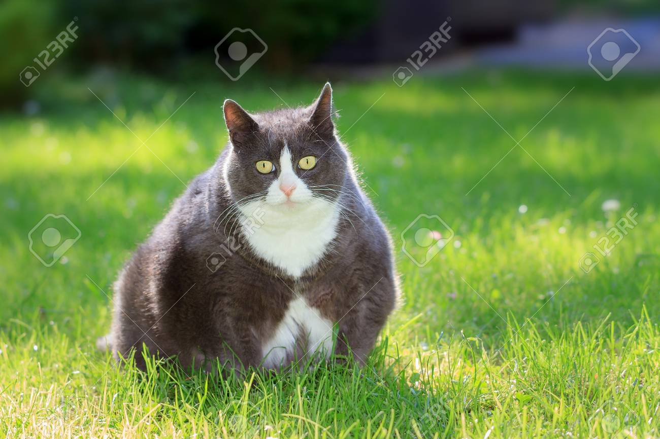 Slight Obese Or Fat Pussy Cat Outside In The Sunny Garden With Fresh Green