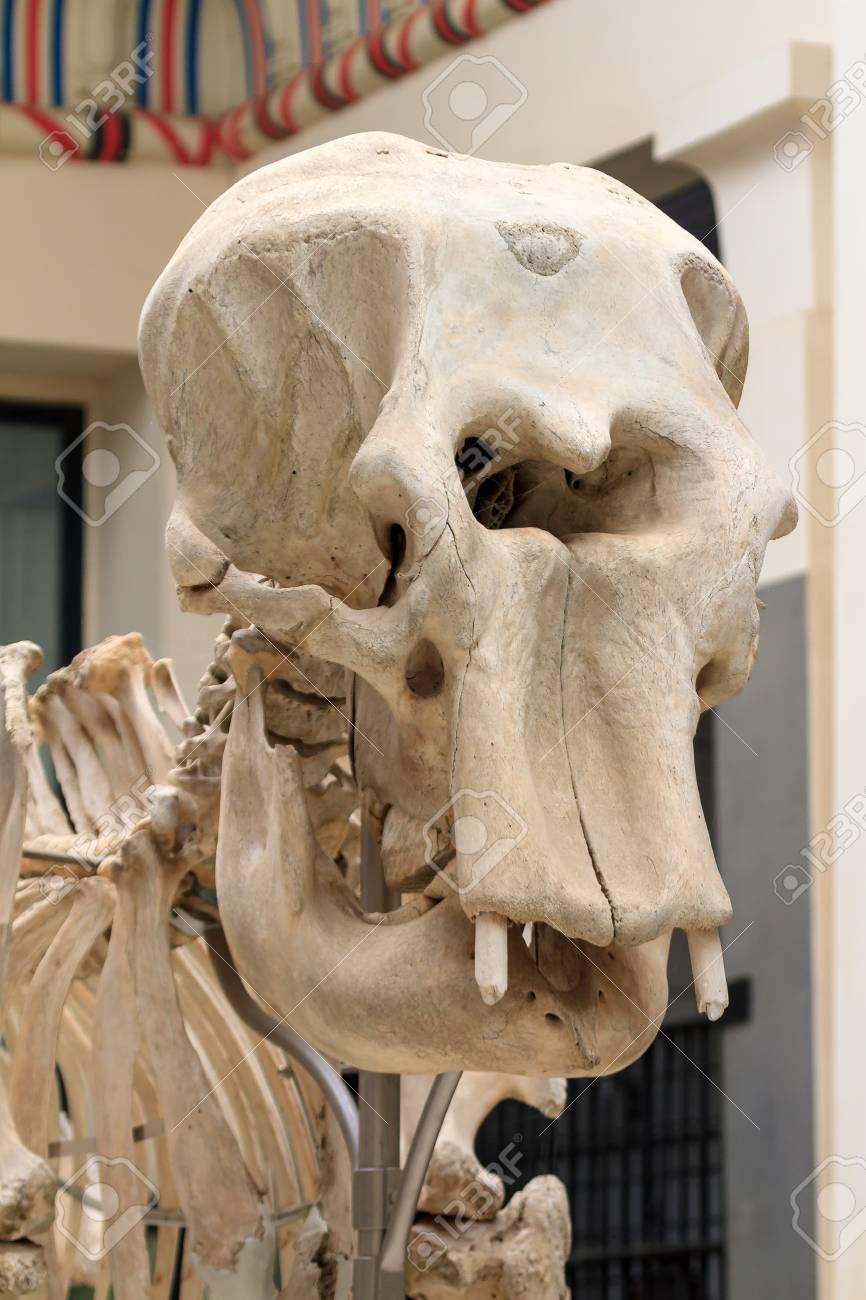 Cerca Del Gran Cráneo De Un Esqueleto De Elefante Fotos, Retratos ...