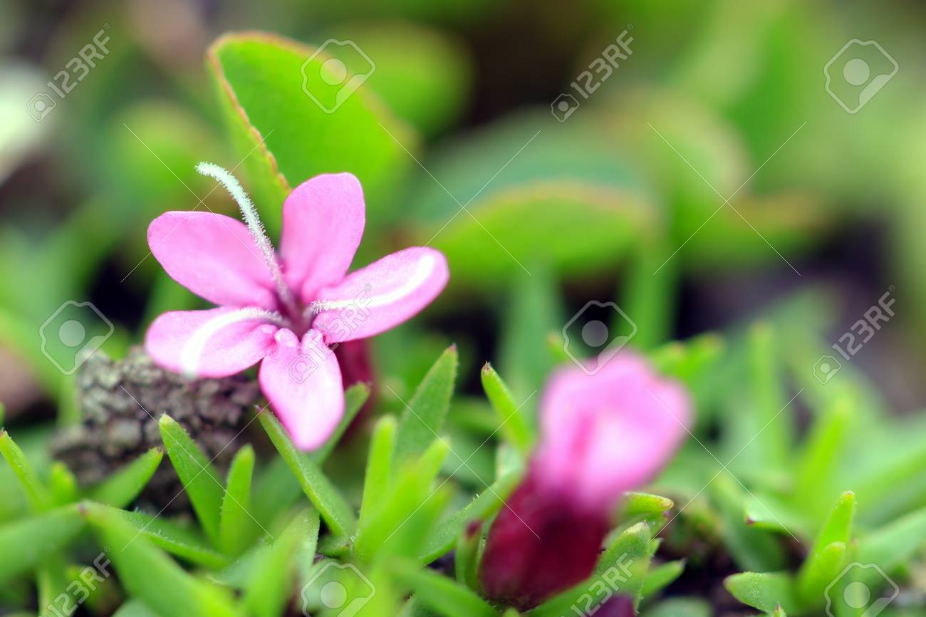 Beautiful Small Pink Flower Moss Campion Silene Acaulis Aka