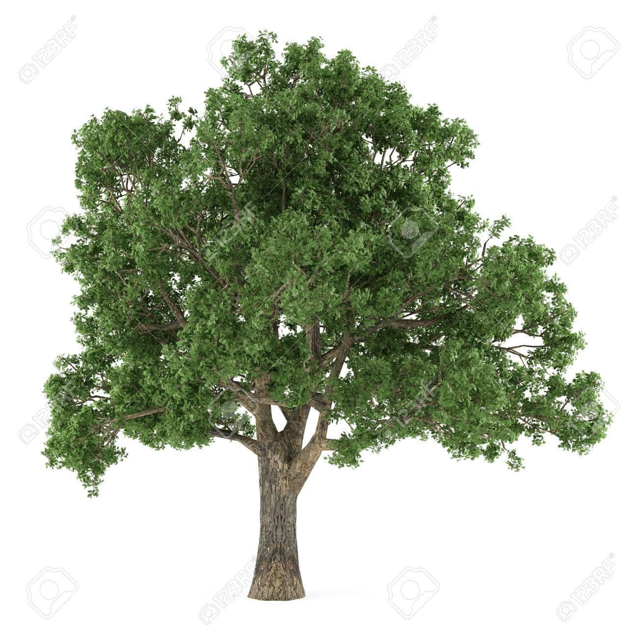 木を分離しました。コナラ の写真素材・画像素材 Image 23896908.