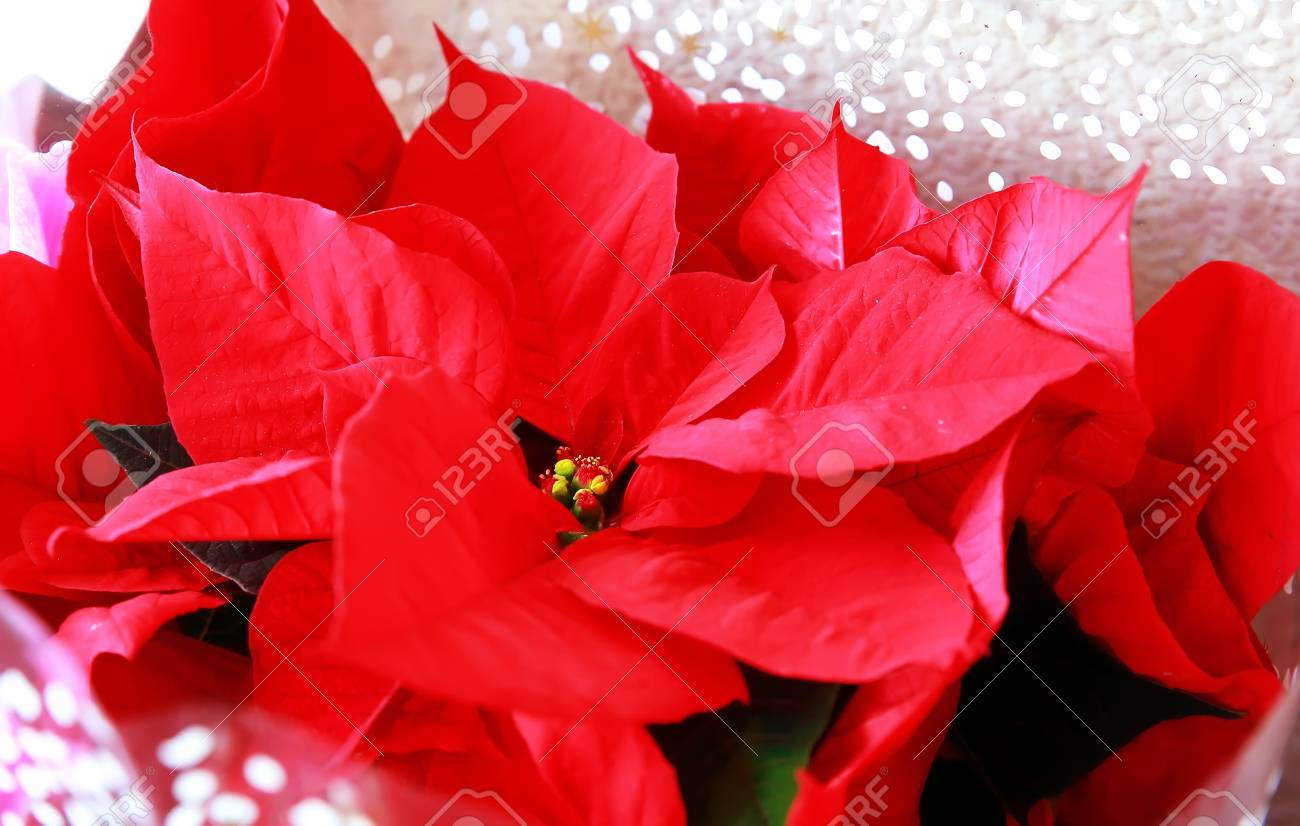 Poinsetta Stock Photos Royalty Free Poinsetta Images