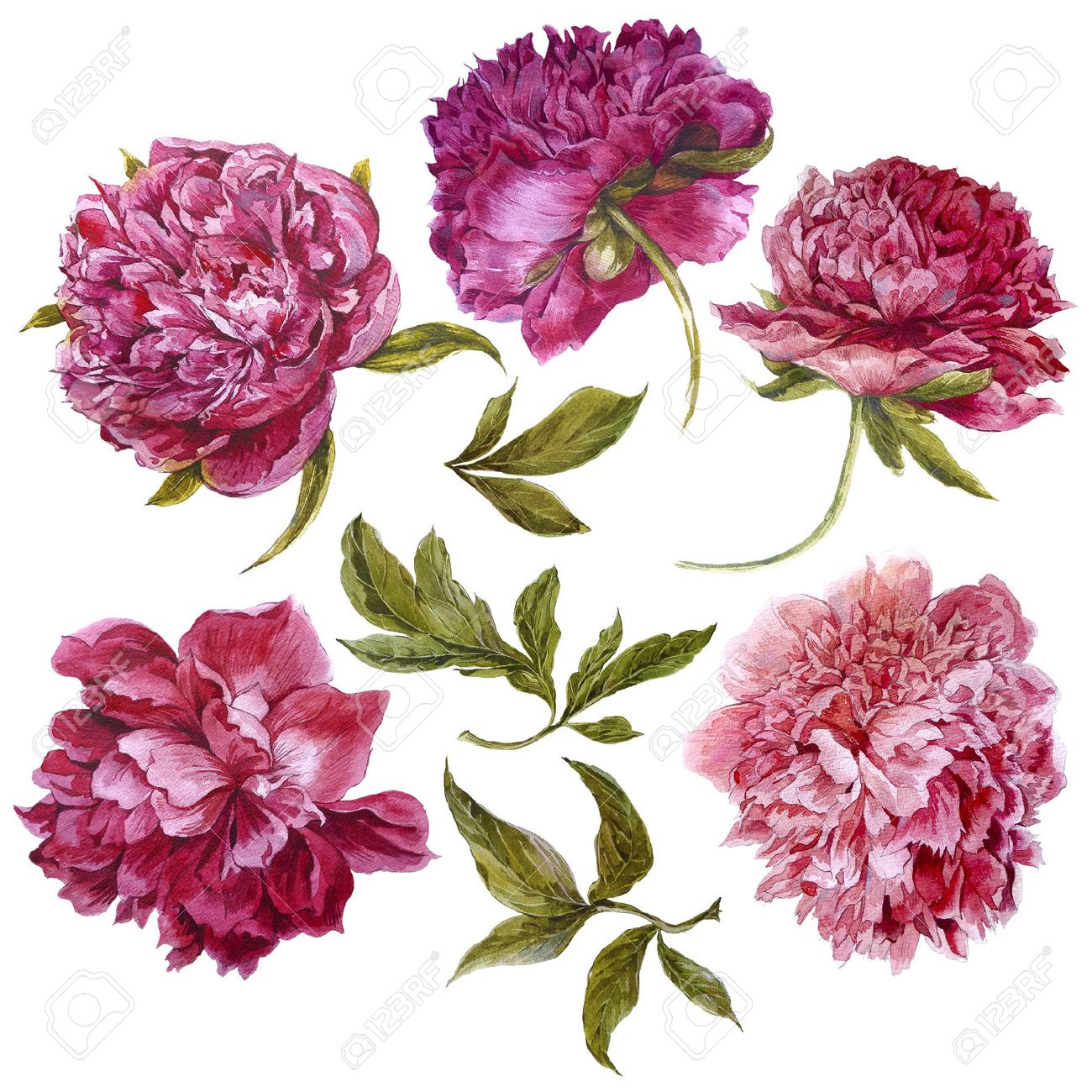 Set of watercolor dark pink peonies, separate flower, leaf, sprigs, isolated watercolor illustration Stock Illustration - 43627820