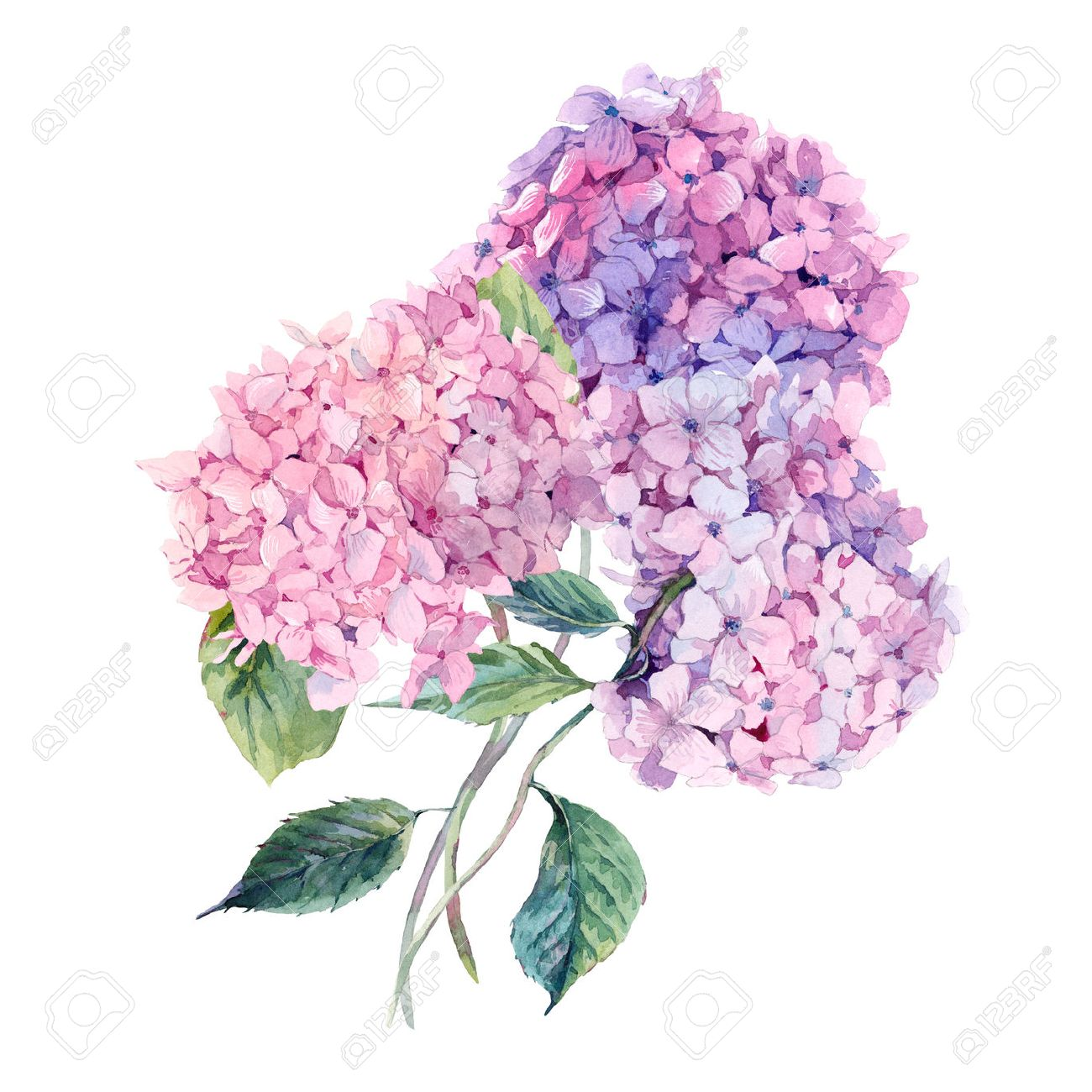 6 495 hydrangea cliparts stock vector and royalty free hydrangea rh 123rf com hydrangea clip art free images hydrangea clip art free images