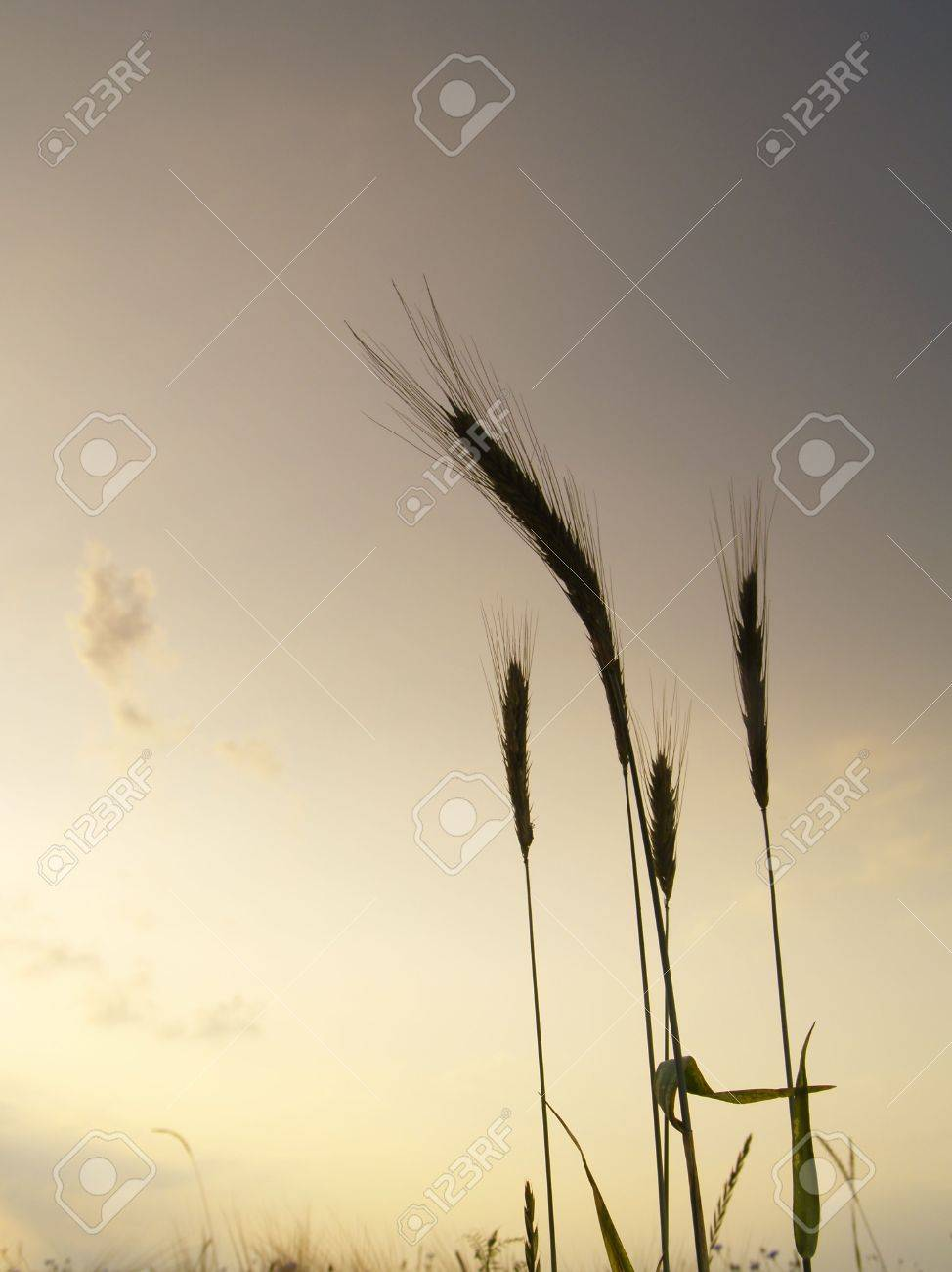 silhouettes of five barley ears, backlit in the evening with clouds in the sky Stock Photo - 5187844