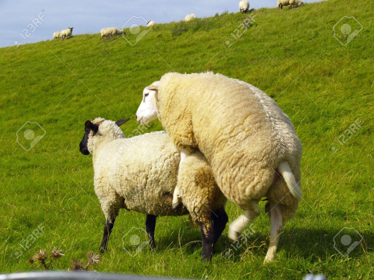 de apareamiento ovejas en los pastos en el norte de Alemania Foto de archivo - 5714504
