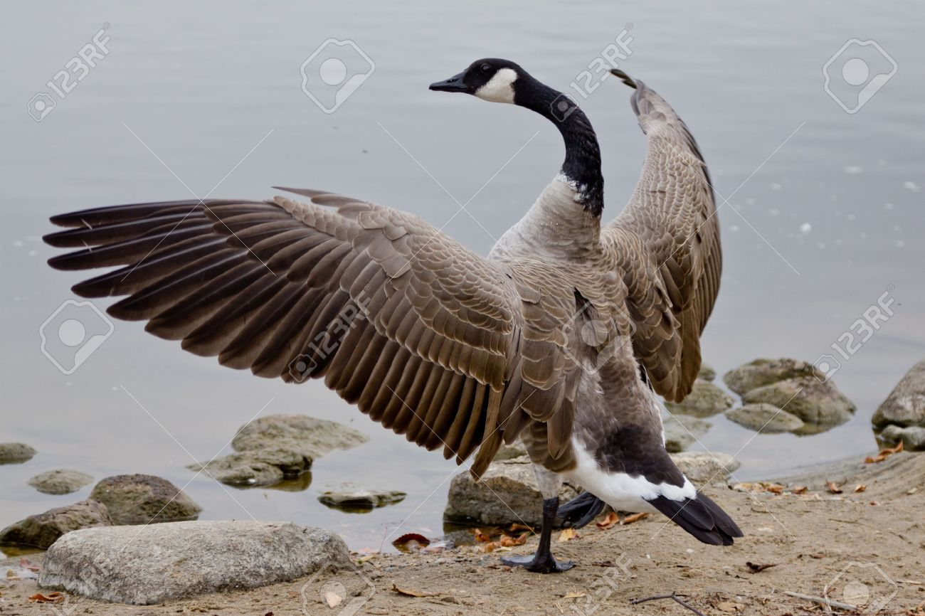 Canada goose stock photos royalty free business images a canadian goose with its wings spread out showing off its beauty biocorpaavc Gallery
