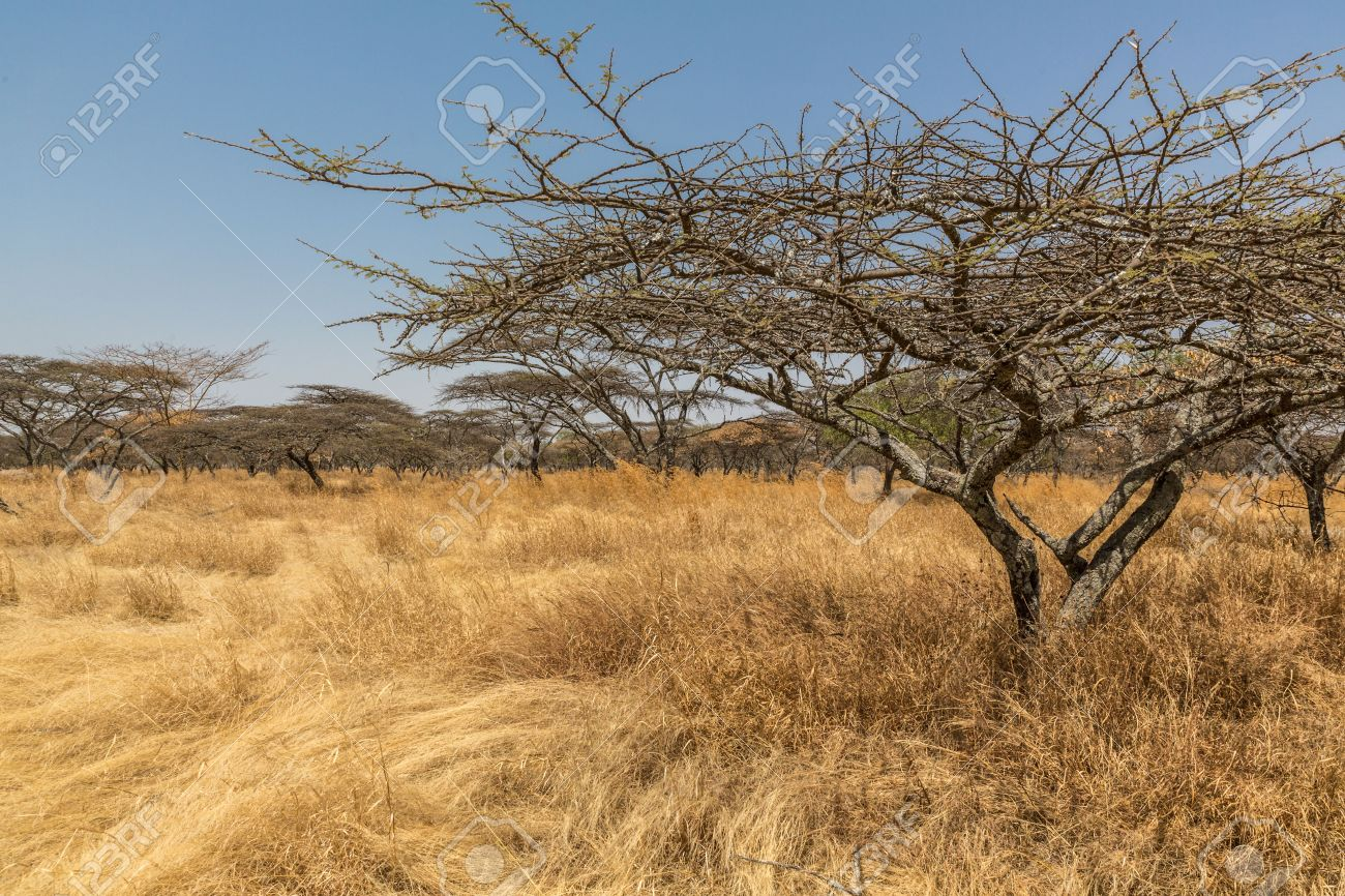 アカシアの木とまばらな植生 Abjatta シャラ国立公園、エチオピア ...