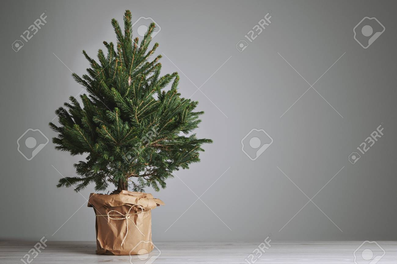 pretty bushy danish christmas tree without decorations in a large pot wrapped in craft paper with
