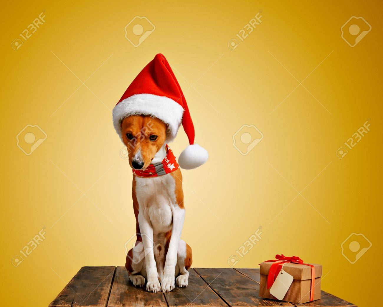 67602fc445e Funny beautiful shy basenji dog wearing christmas santa hat and sitting  next to craft box with holiday gift tied with red tape and yellow small  address tag
