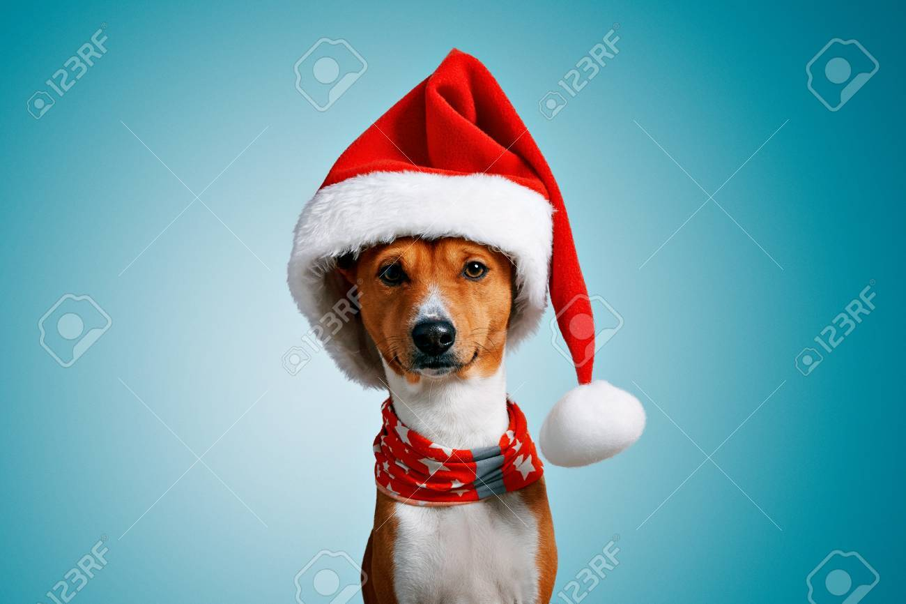 435c4abc36e Close up portrait of funny beautiful dog wearing christmas santa hat and  red festive collar with