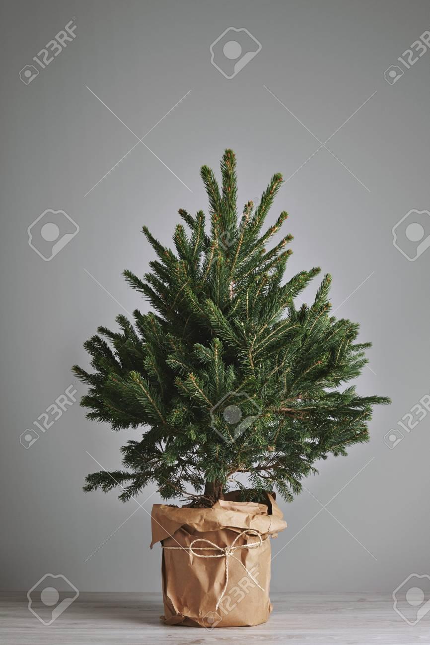 Kerstboom In Pot.Weinig Verse Kerstboom In Een Pot Verpakt In Kraft Papier Geisoleerd Op Grijs Klaar Voor Aangepaste Decoratie