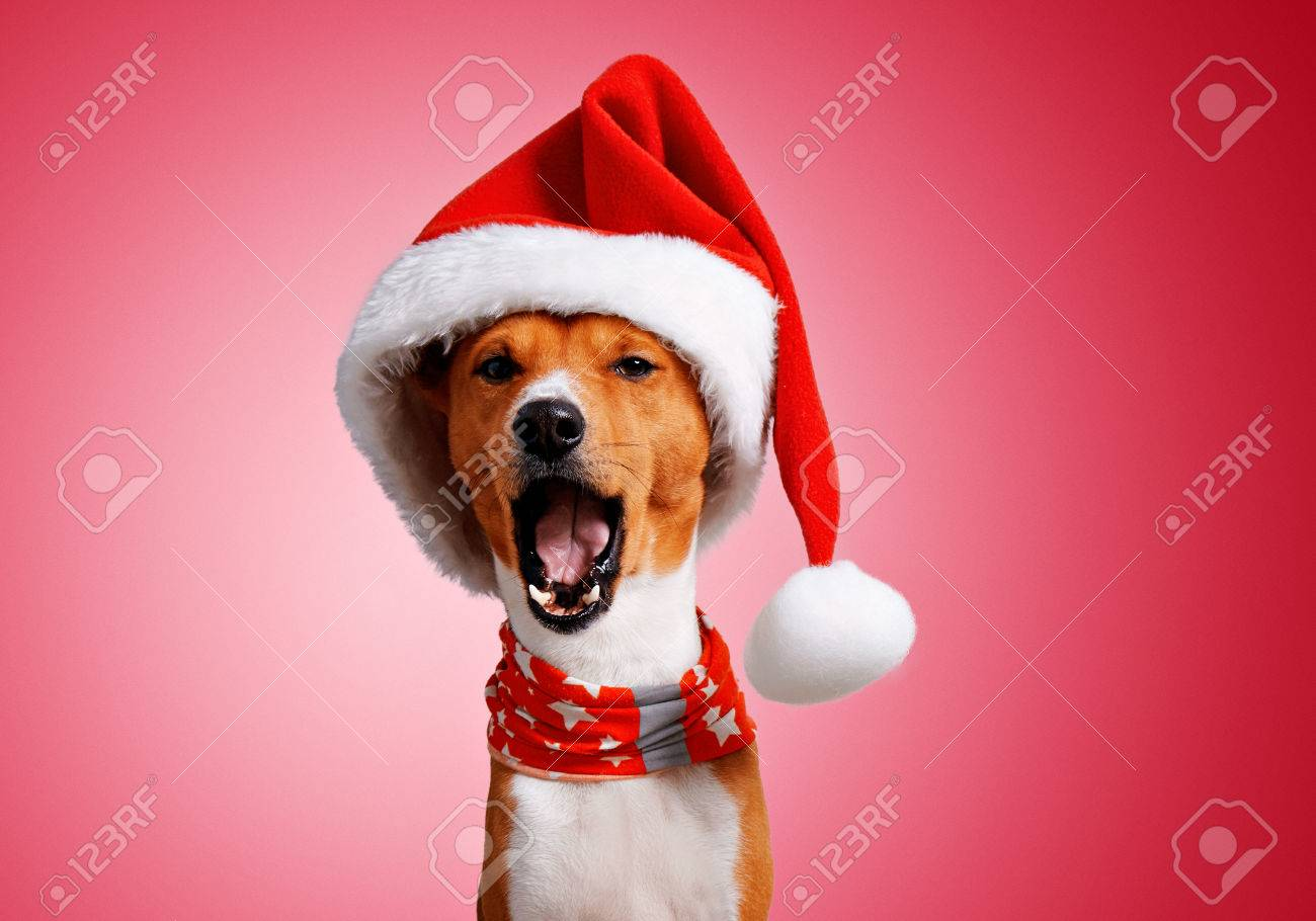 f4ff4d6d41e Close up portrait of funny beautiful basenji dog wearing christmas santa hat  and singing holiday song