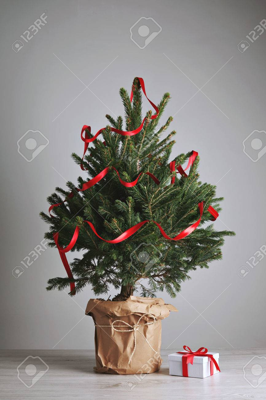Potted Christmas Tree.Little Potted Christmas Tree Decorated With A Long Red Ribbon