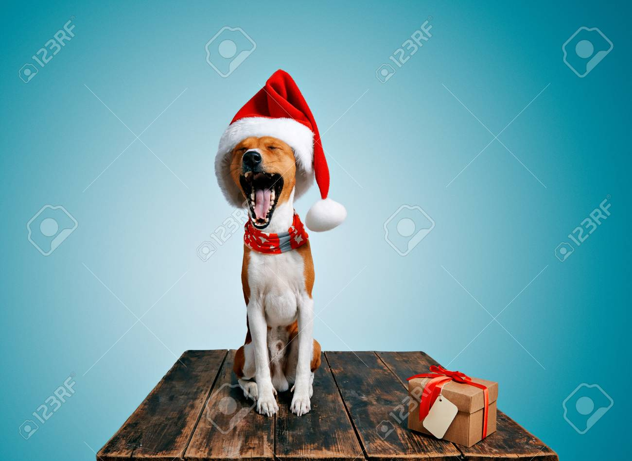 42c7ba58202 Funny beautiful basenji dog wearing christmas santa hat and yawning on  camera next to craft box with holiday gift tied with red tape and yellow  small ...
