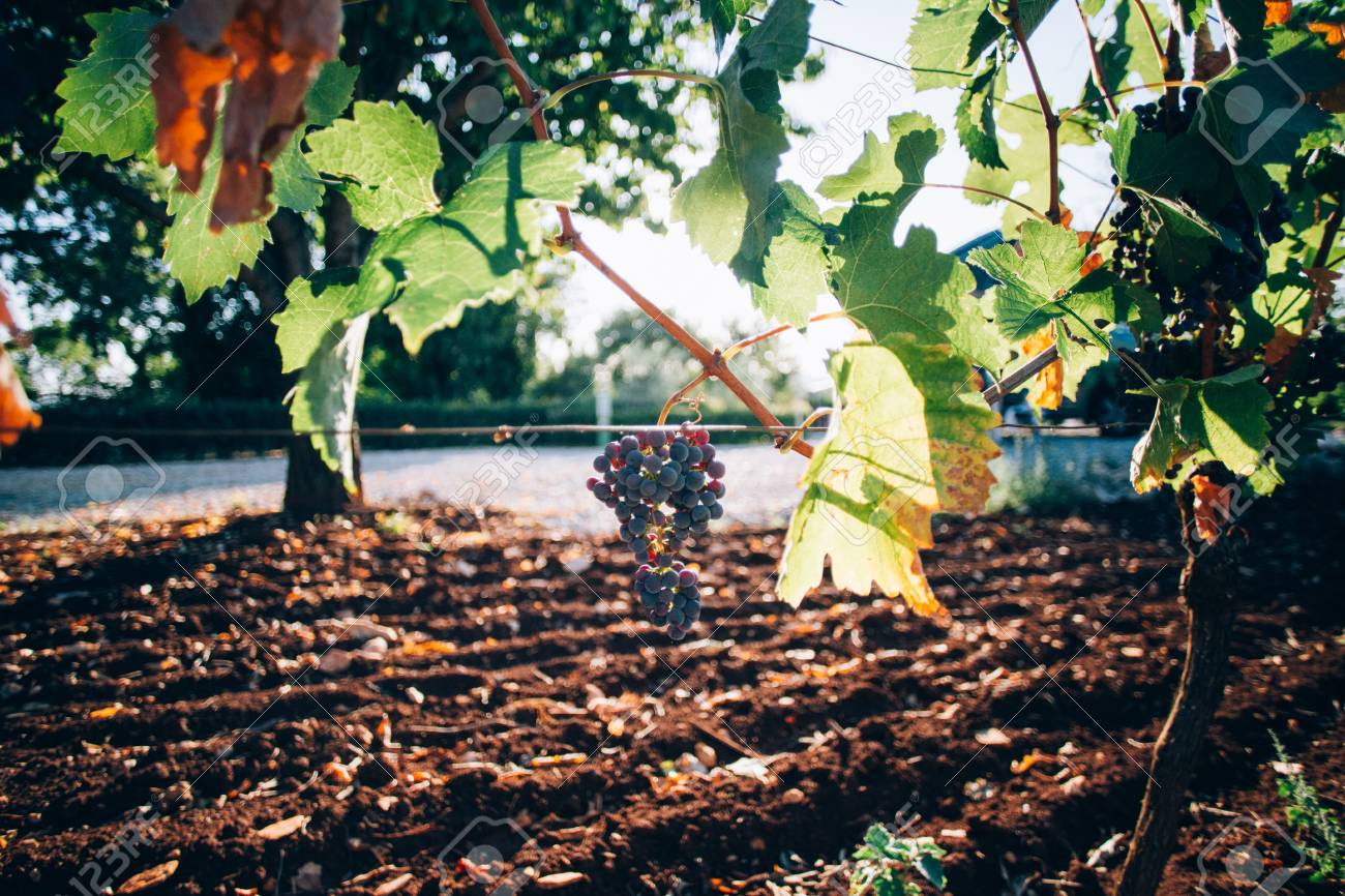 Close up of bunch of grapes hanging from bush tree, sunset light rays go through leaves, country life in provence wine making region, plantation of fruits - 86878065