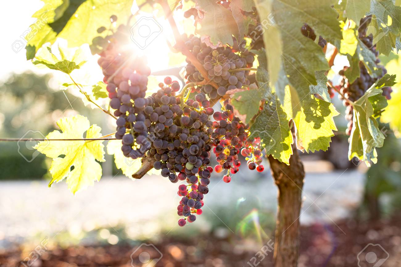 Close up of bunch of ripe and organic biological ecological grapes hanging from branch in warm sunset sunlight and leaves green in autumn season - 86878080