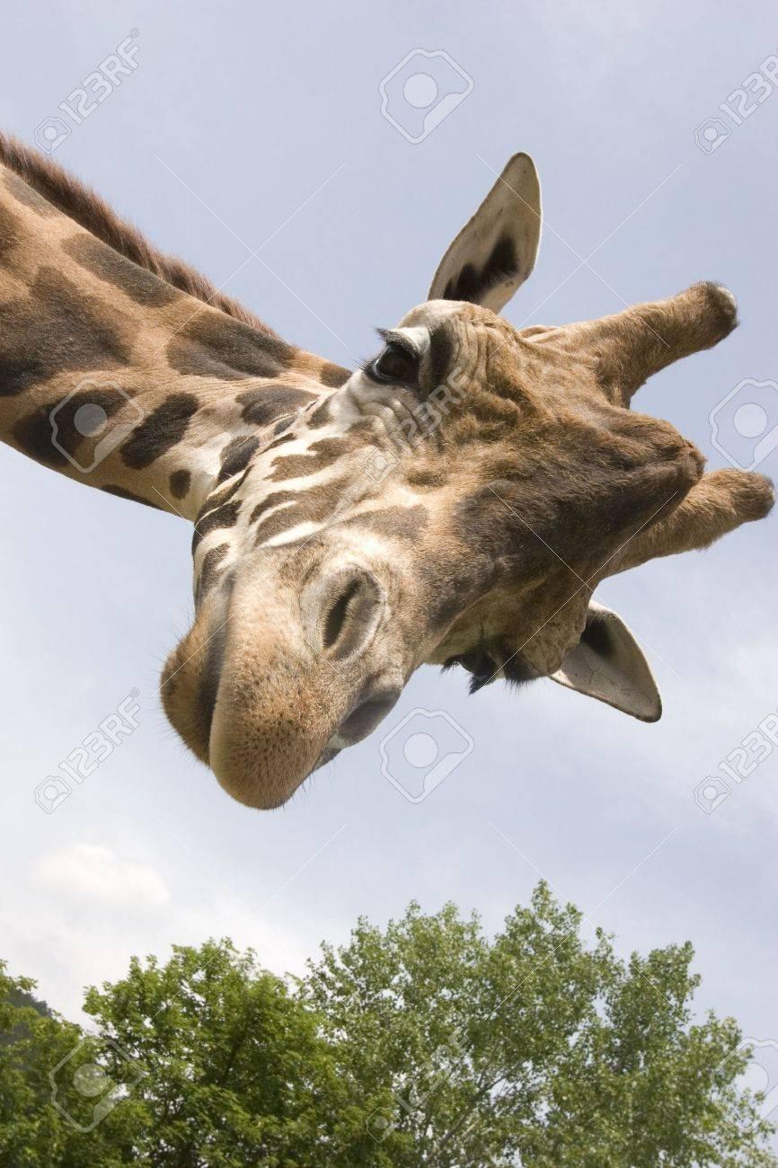 Beautiful Giraffe Stock Photo - 6068520