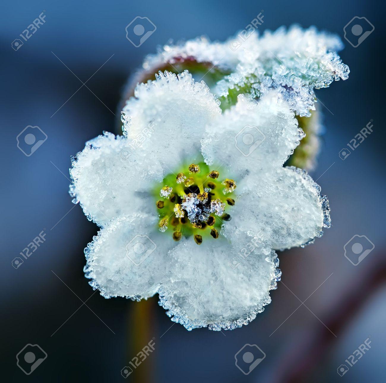 Frozen white flower, macro shot Stock Photo - 17841672