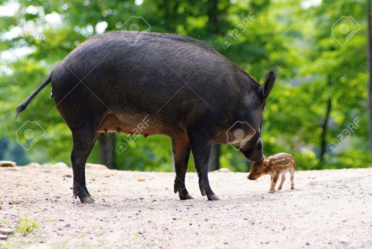 wilds animals captured in the canadian countryside wild pigs