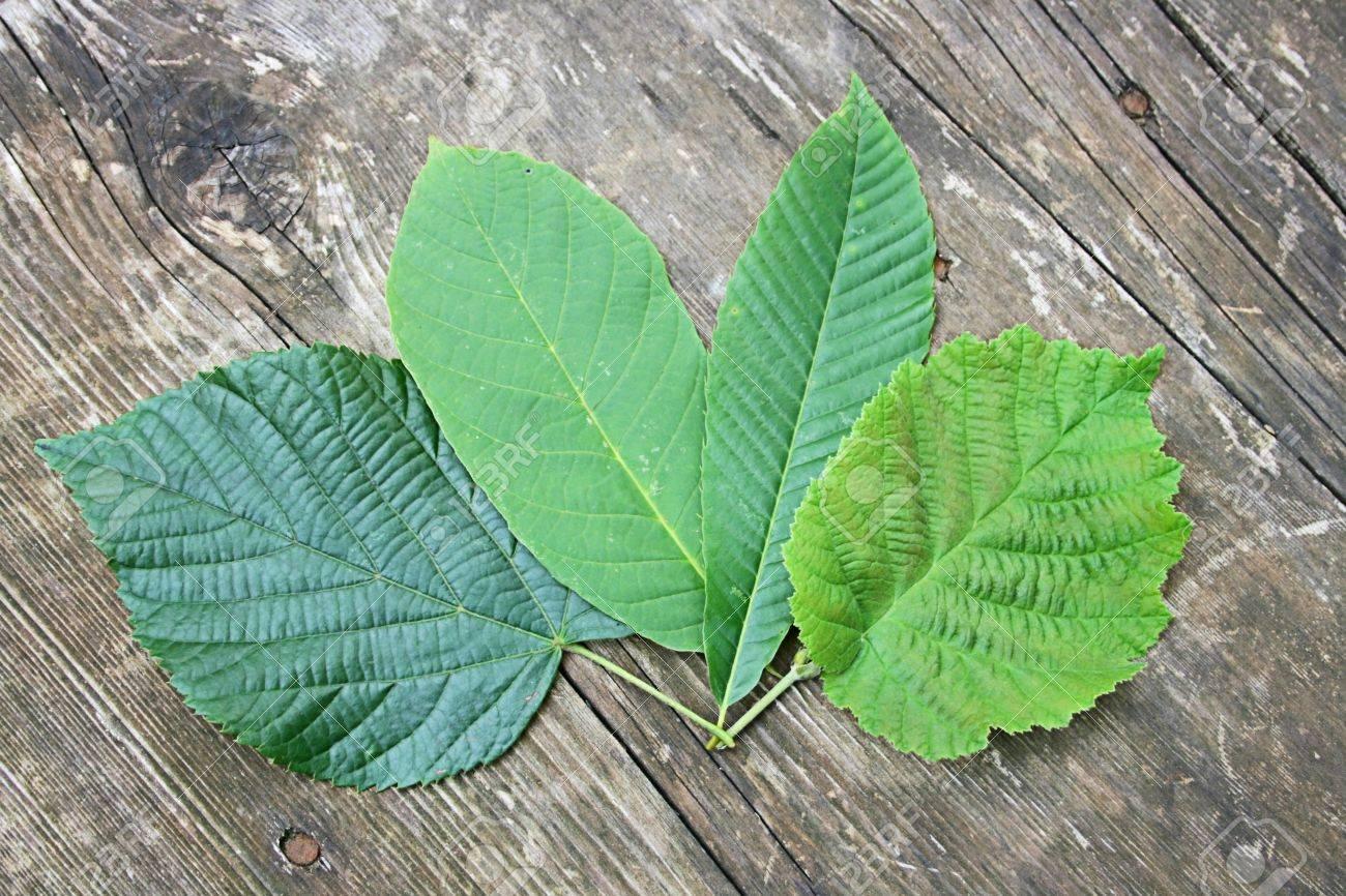 Linden Tree Leaf
