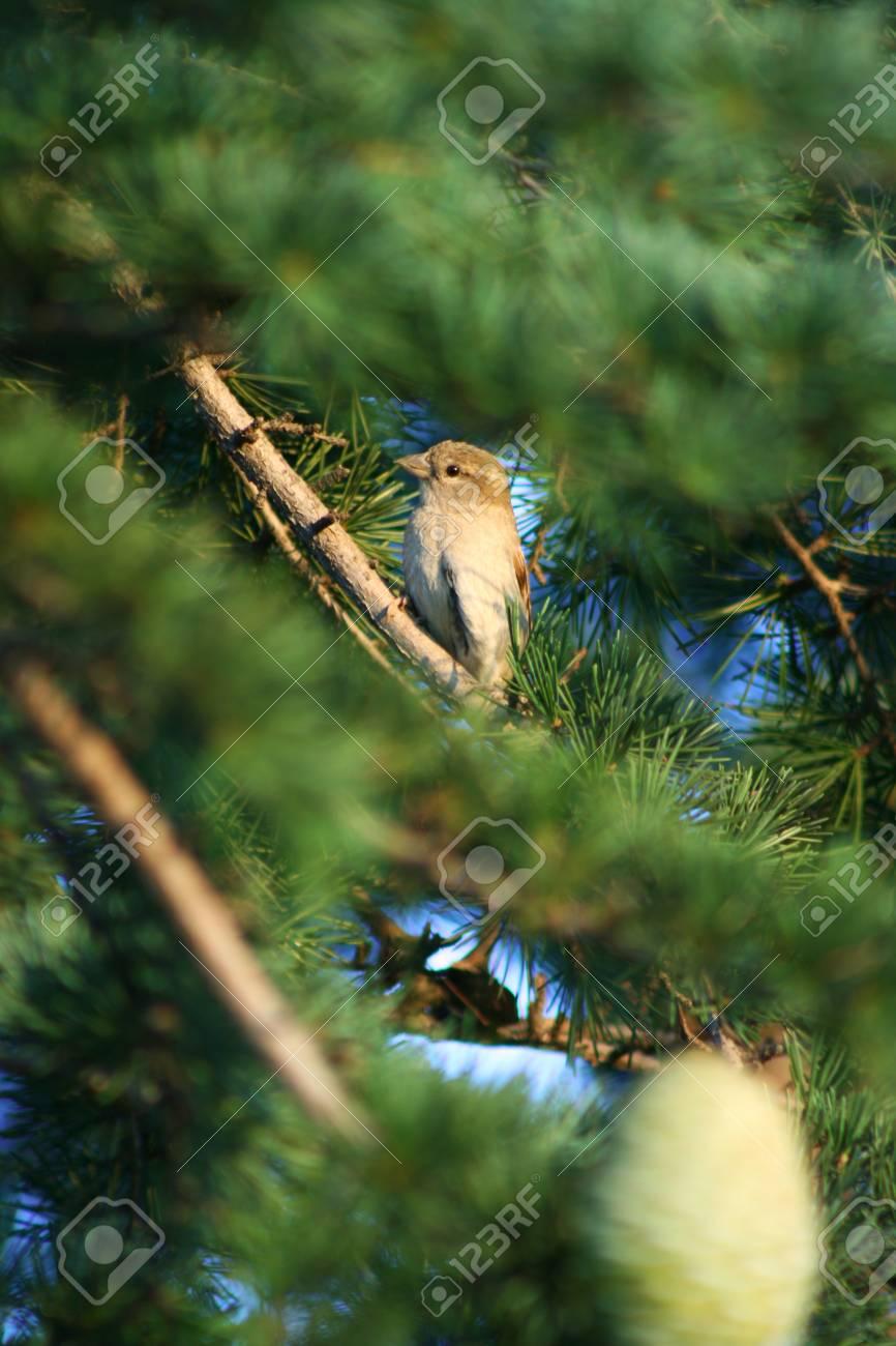 Birdie on pine tree Stock Photo - 20977787