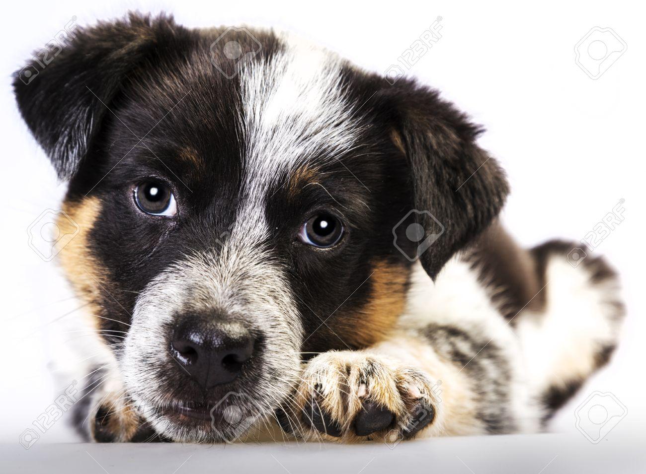 Cute Texas Blue Heeler  a Blue Heeler Newborn Puppies