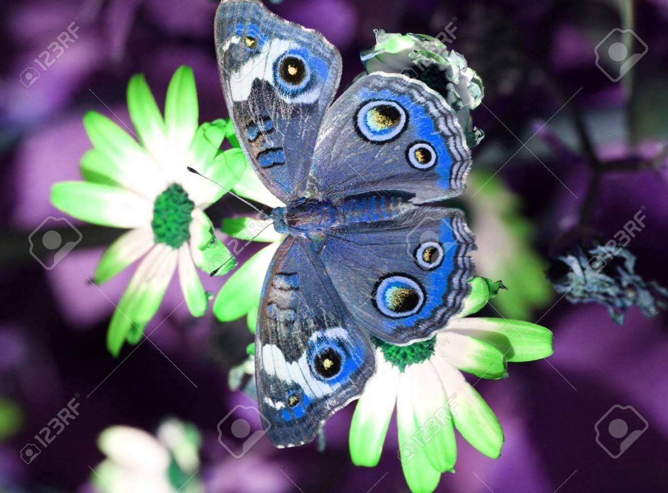 A beautiful buckeye butterfly Blue Buckeye Butterfly