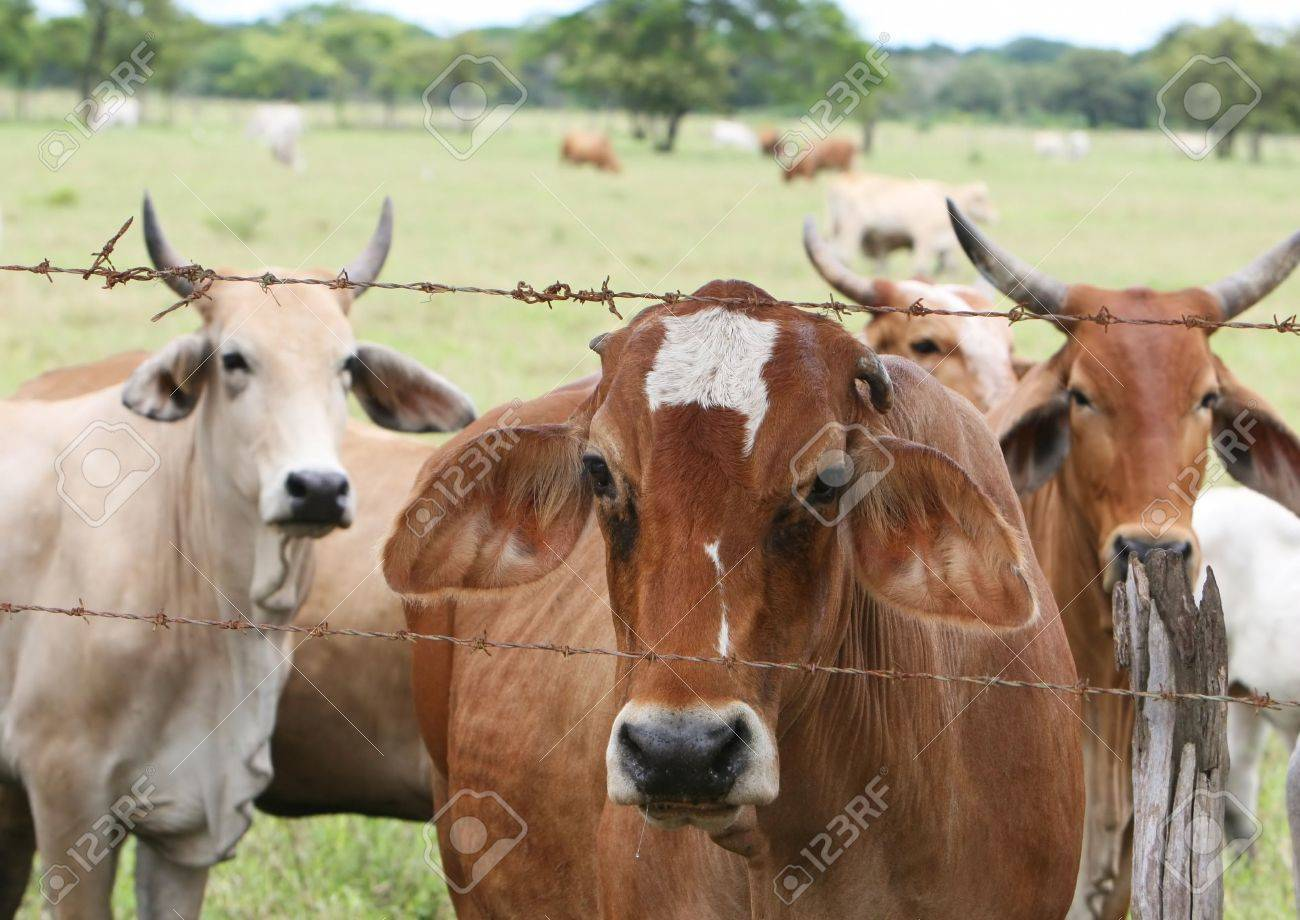 barbed wire fence cattle. A Herd Of Cattle Looks On From Behind Rusty Barbed Wire Fence Stock Photo -