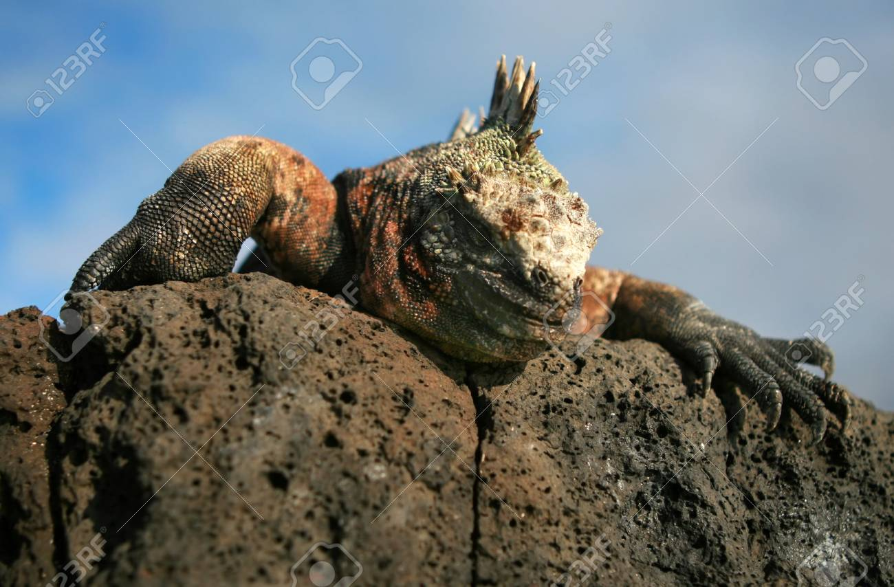 A Marine Iguana peers over a rock on the Galapagos Islands Stock Photo - 3444172
