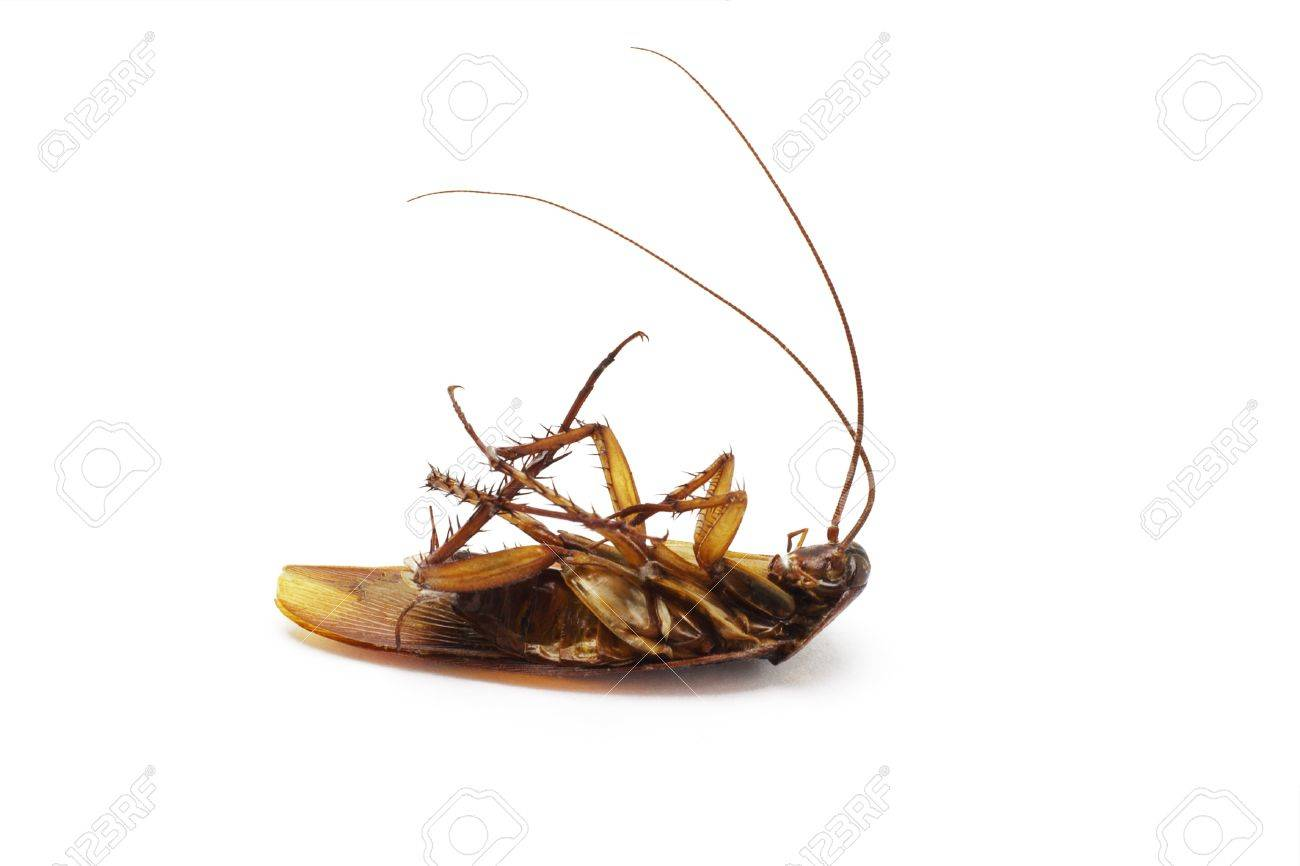 Dead cockroach with long feelers on white background Stock Photo - 9767140